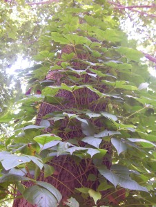 Virginia creeper climbing up the tree trunks