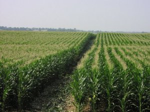 corn_field339213037_std