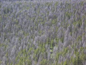 Only half of these trees are alive..whether from fire or insect damage. A good wind will blow them down and devastate whole mountainsides.